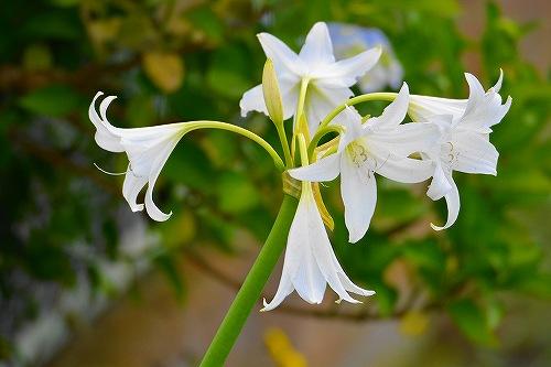 s-白い花②20180617