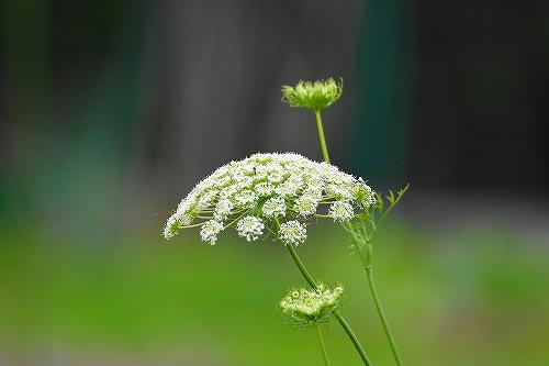 s-白い花③20180617