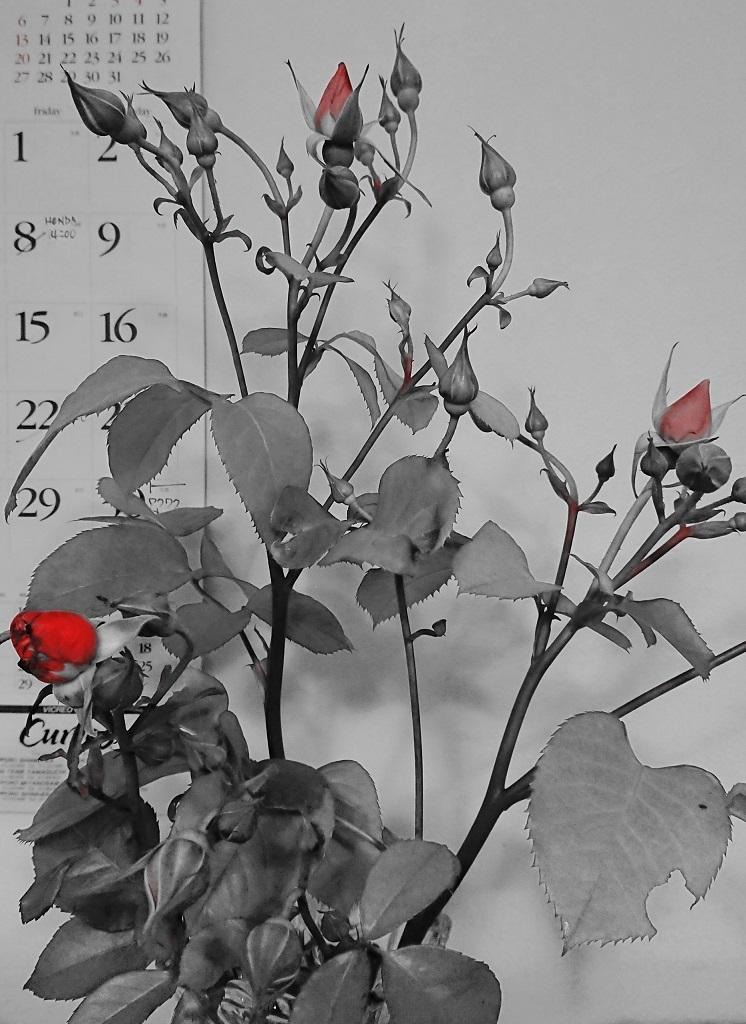 180622折れた薔薇