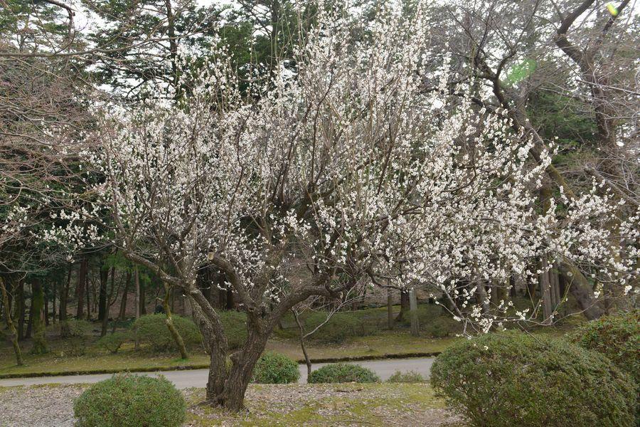 梅の樹-1