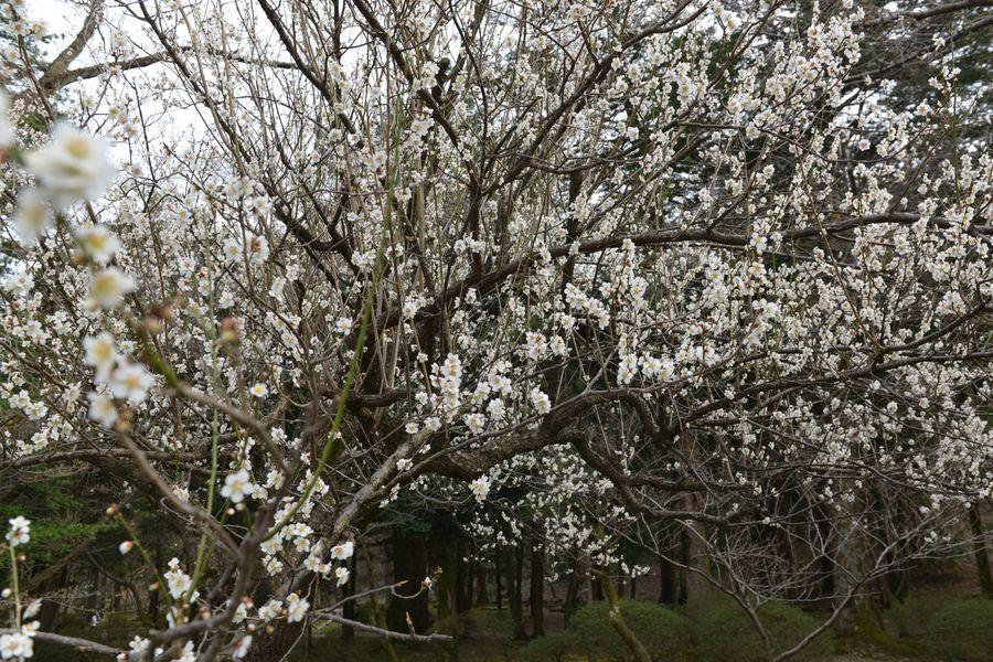 梅の樹-2
