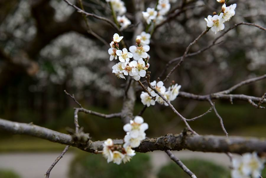 梅の樹-3
