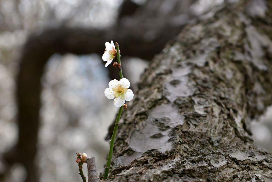 梅の樹-4