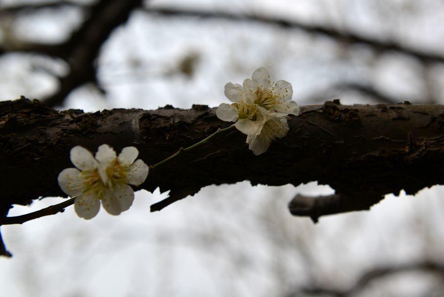 梅の樹-5