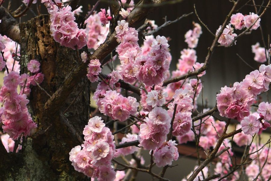 梅の花-6