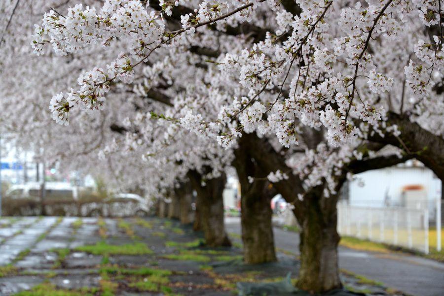 寒空の桜-1