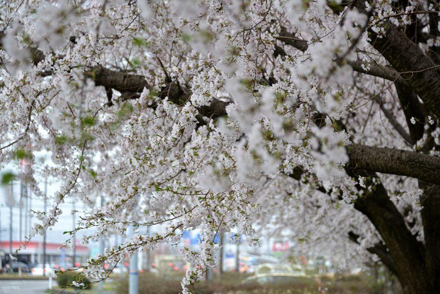 寒空の桜-2