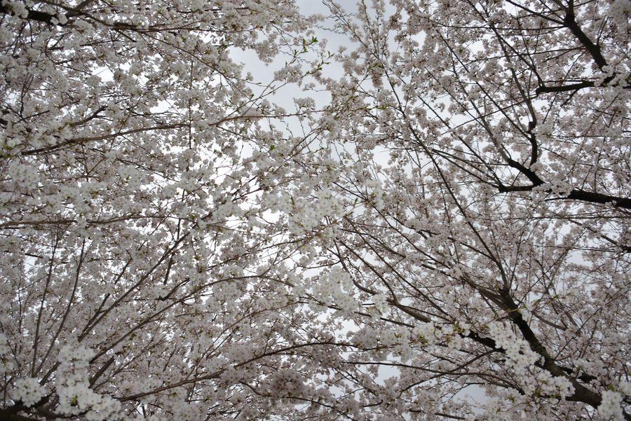 寒空の桜-3