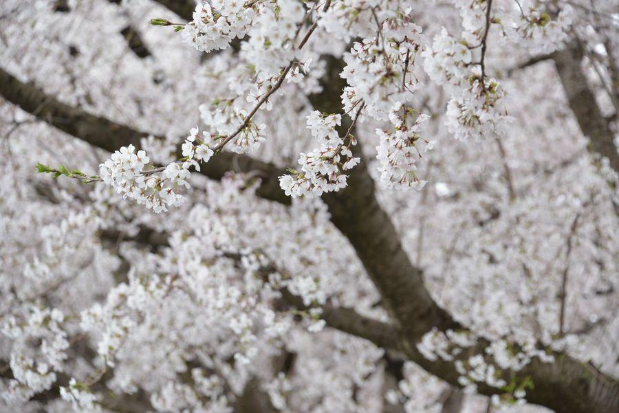 寒空の桜-4