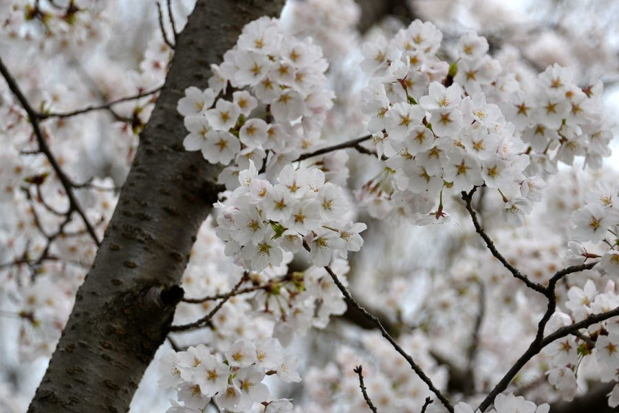 寒空の桜-5