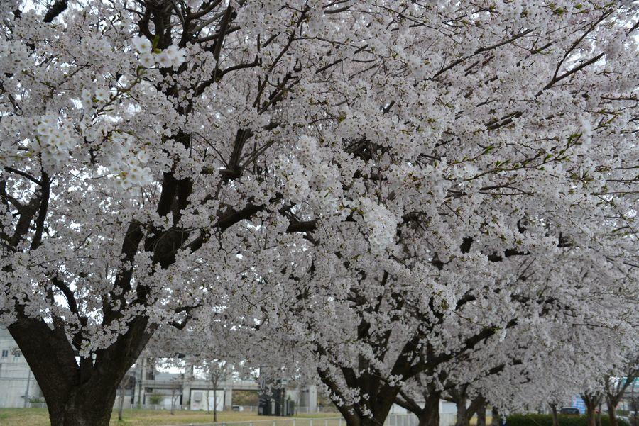 寒空の桜-6