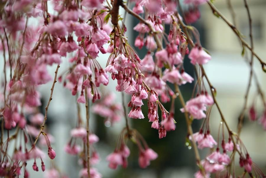 近所の桜-1
