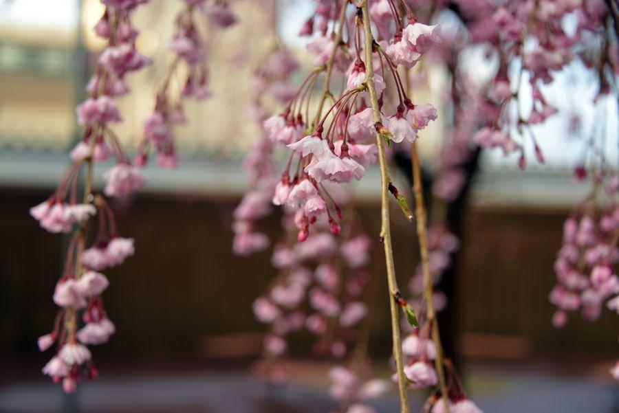 近所の桜-2
