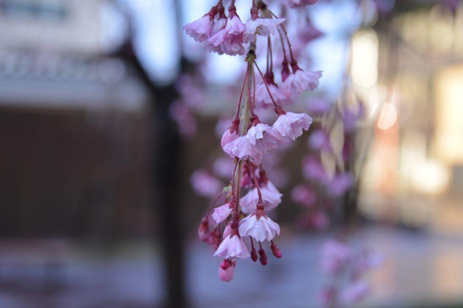 近所の桜-3