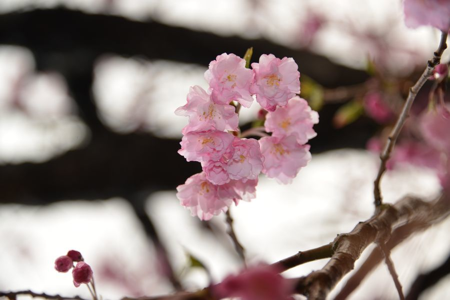 近所の桜-5