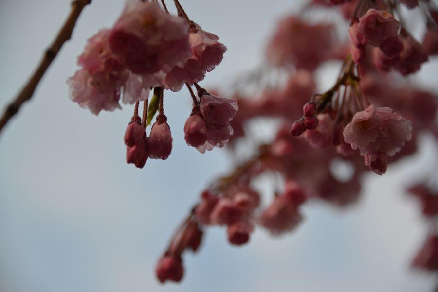 近所の桜-6
