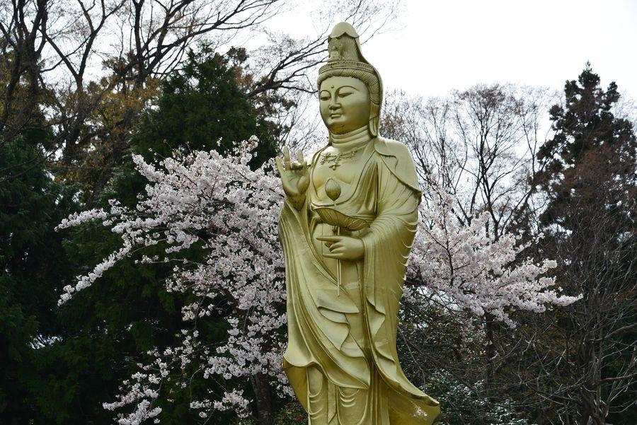 観音寺の桜-2