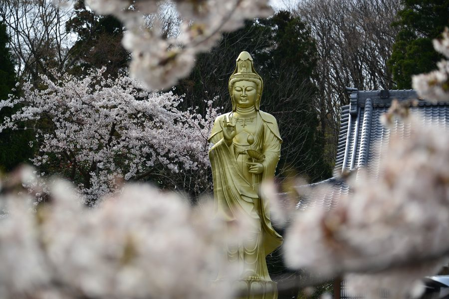 観音寺の桜-5