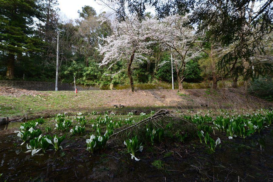 水芭蕉と桜-2