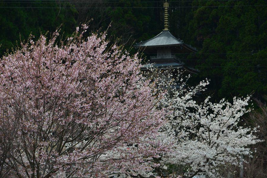 桜と五重塔-1