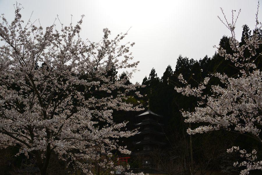 桜と五重塔-2