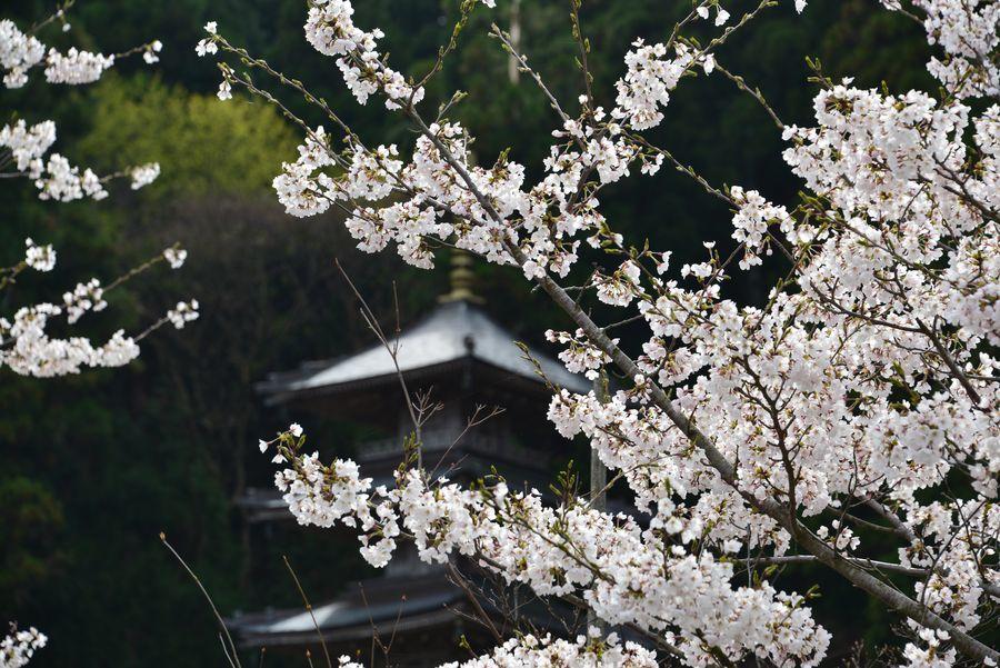 桜と五重塔-3