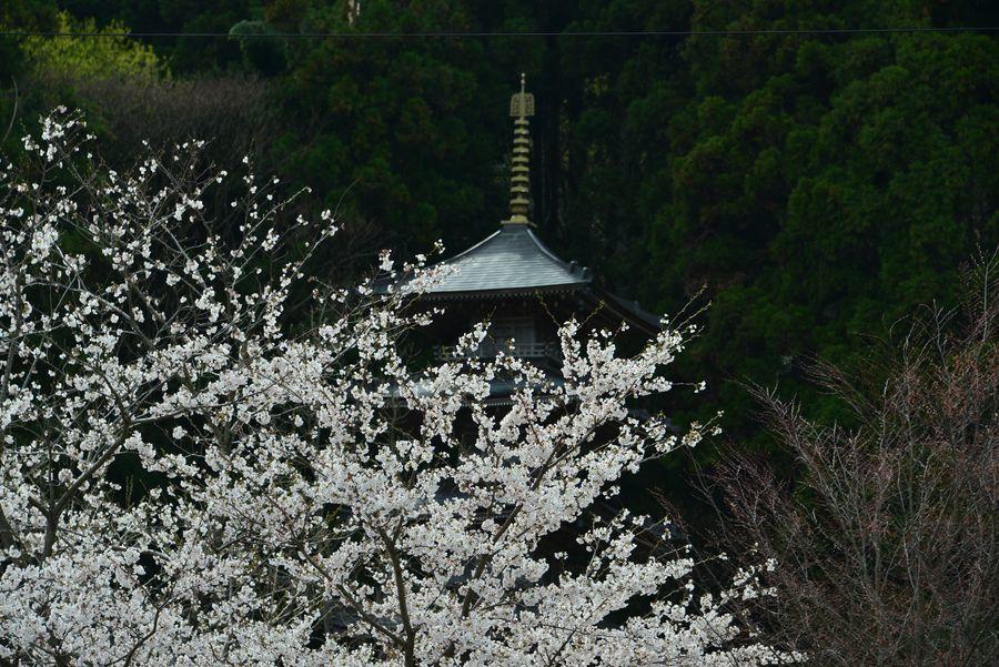 桜と五重塔-4