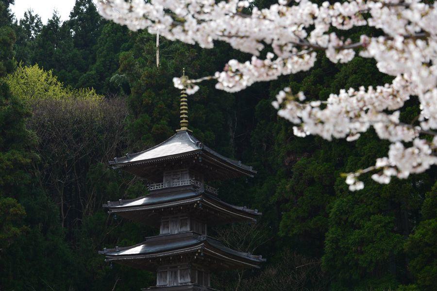 桜と五重塔-5