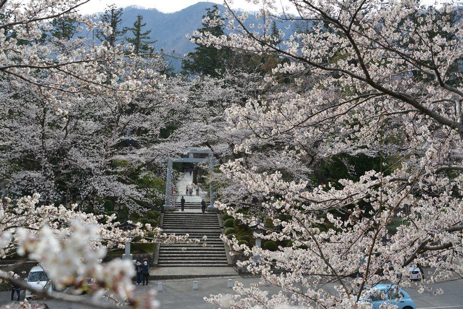 大駐車場の桜-1