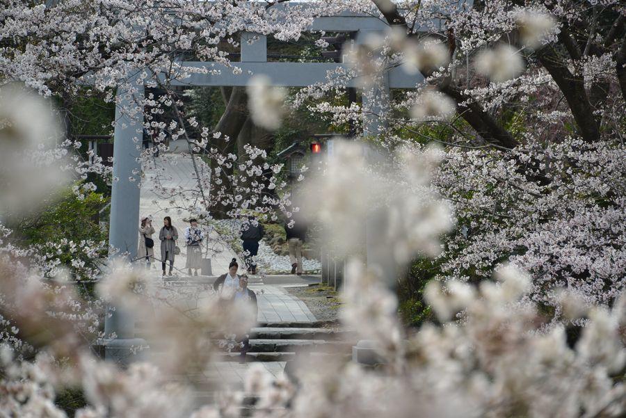 大駐車場の桜-2