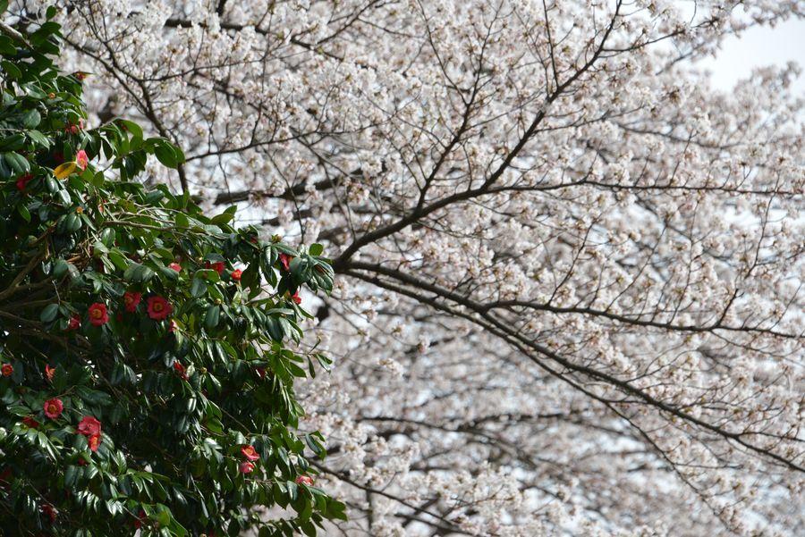 大駐車場の桜-3