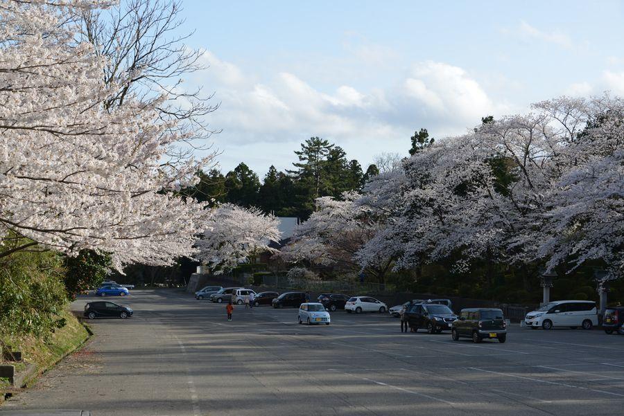駐車場の桜-2