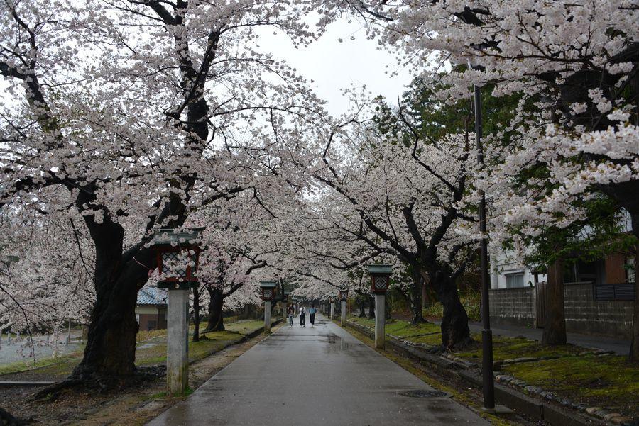 弥彦公園の桜-1