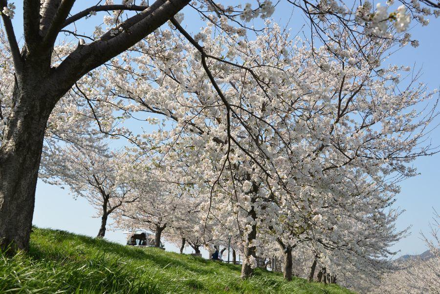 大河津分水の桜-2