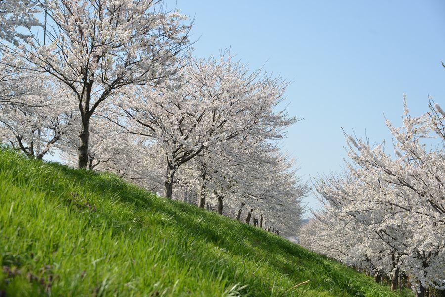大河津分水の桜-3