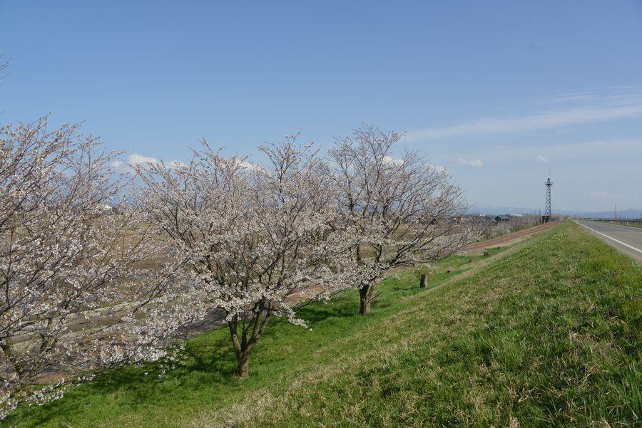 大河津分水の桜-6