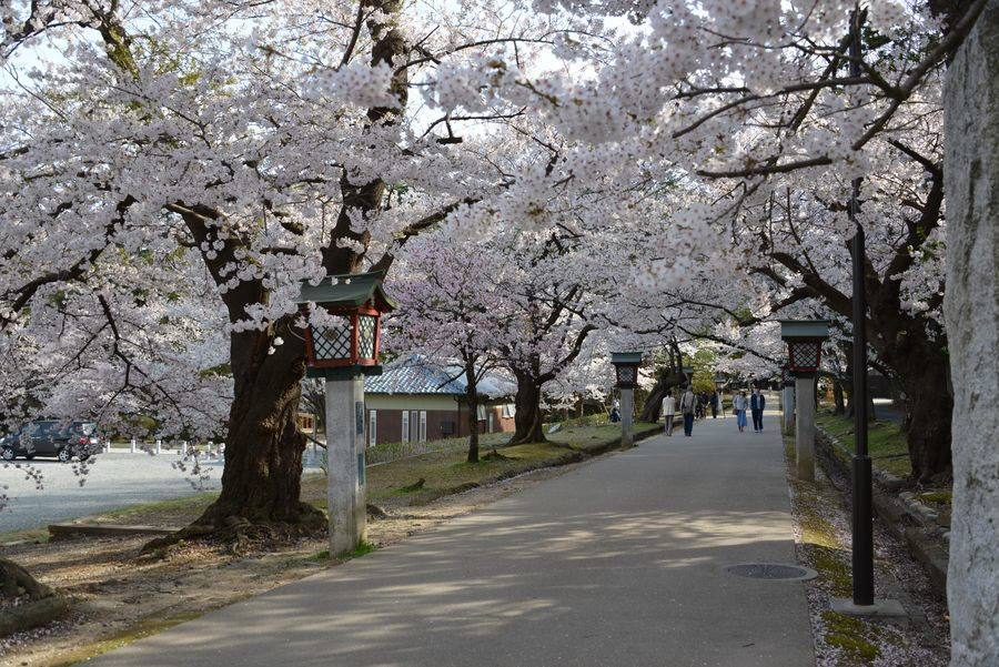 弥彦公園の桜 晴れ-1
