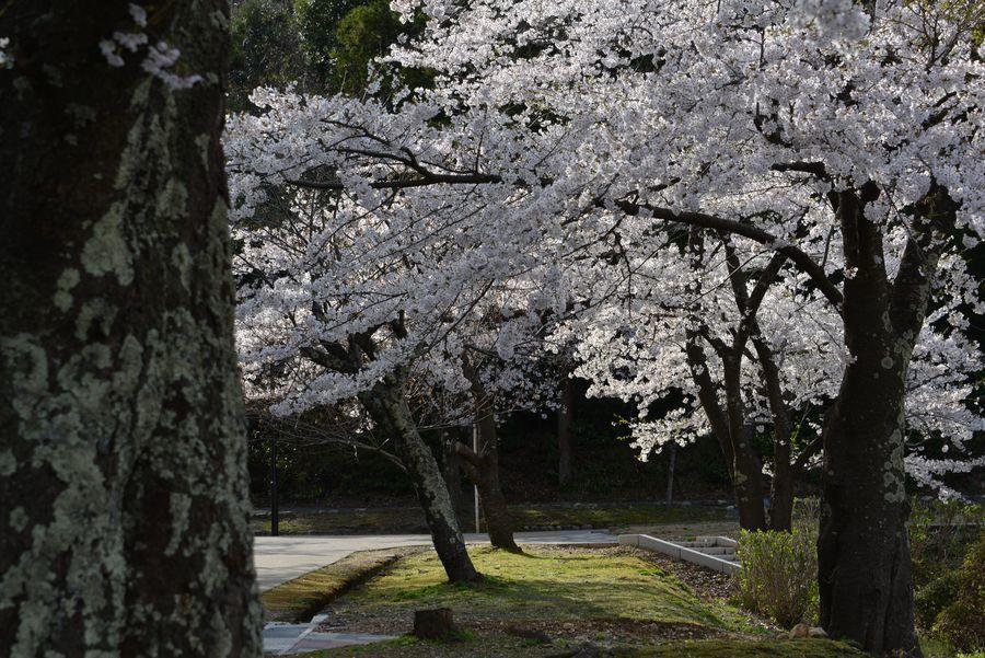 弥彦公園の桜 晴れ-2