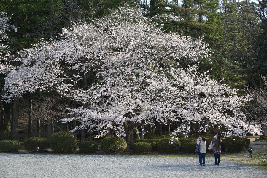 弥彦公園の桜 晴れ-3