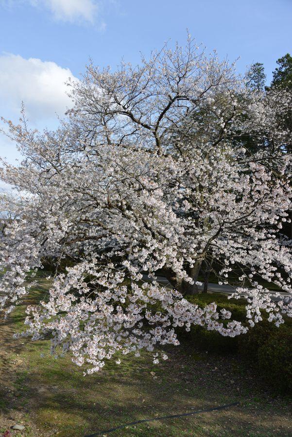 弥彦公園の桜 晴れ-5