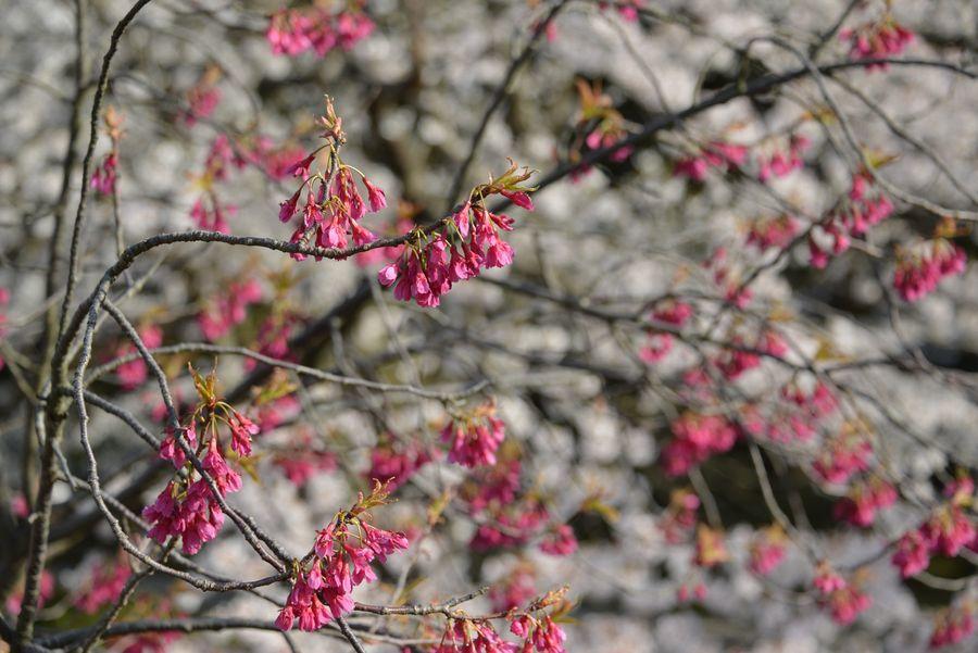 弥彦公園の桜 晴れ-6