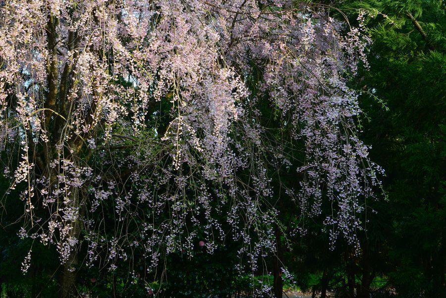 枝垂れ桜と-2