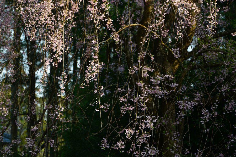 枝垂れ桜と-3