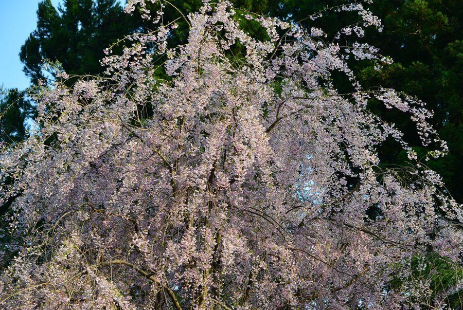 枝垂れ桜と-4