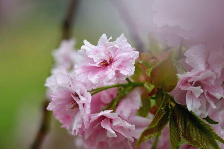 雨の八重桜-1