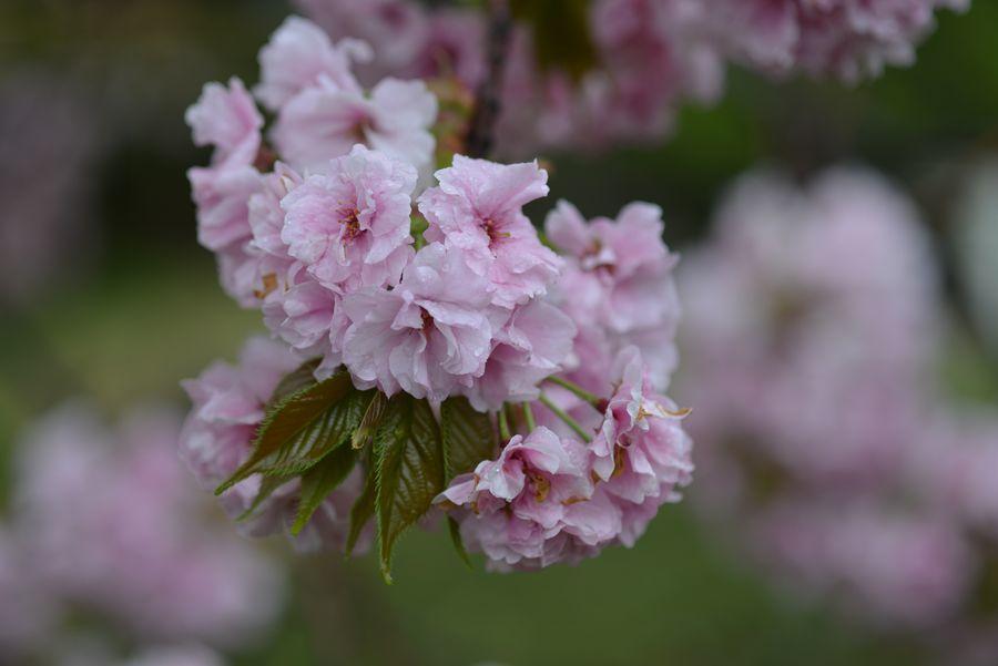 雨の八重桜-2