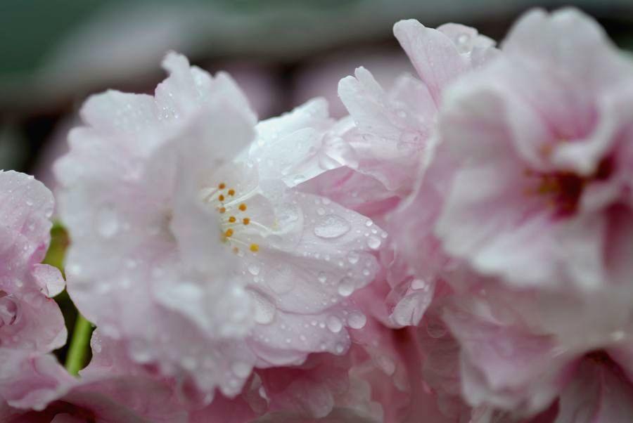 雨の八重桜-4