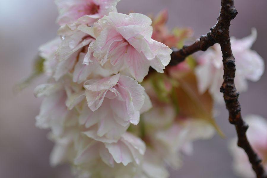 雨の八重桜-5