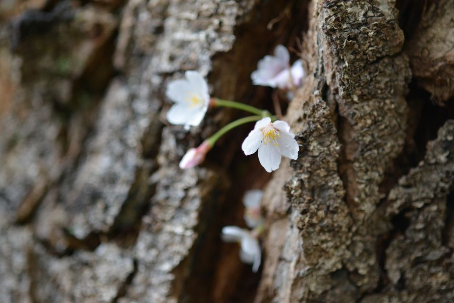 桜の忘れ物-3