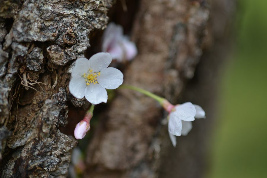桜の忘れ物-4